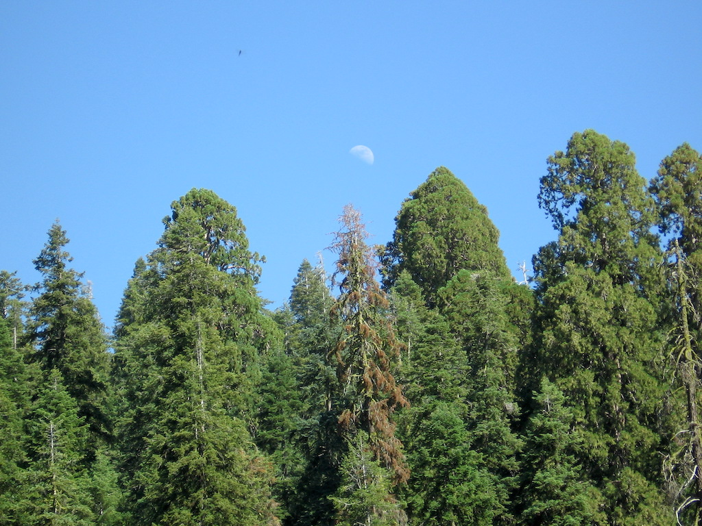 Moon over sequoias from Crescent Meadow