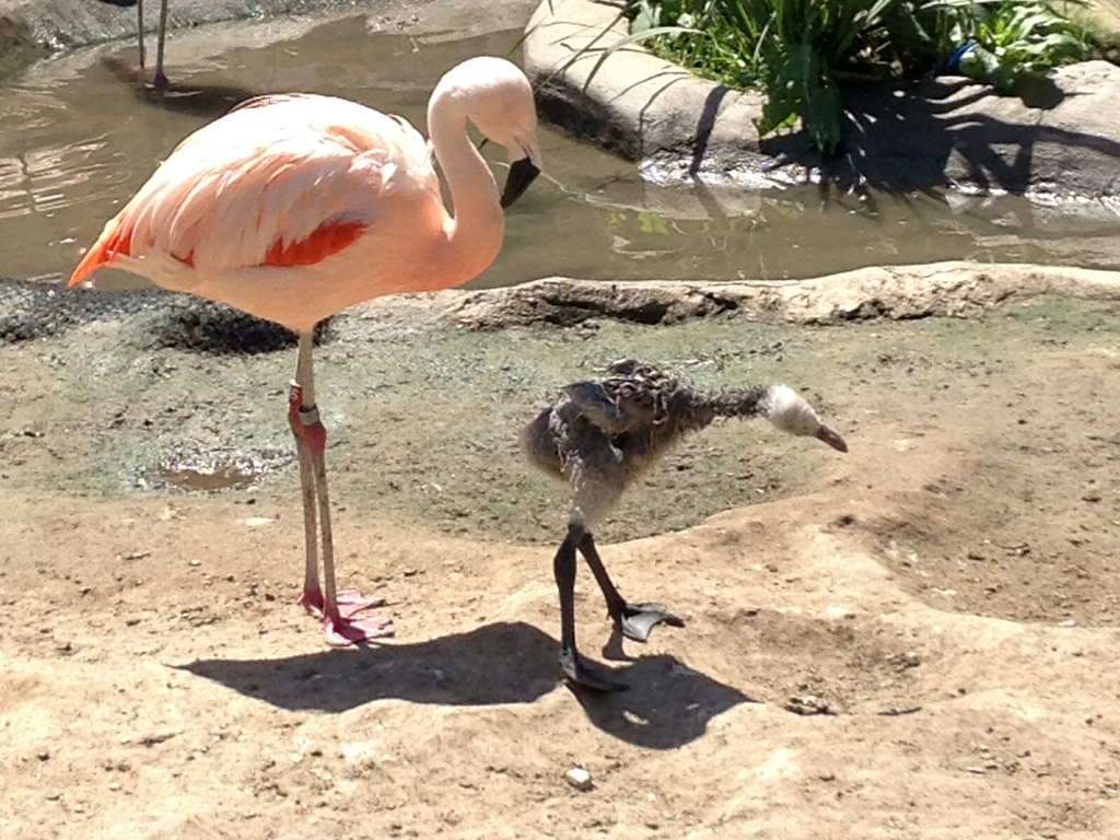 Flamingo and chick at the Santa Barbara Zoo