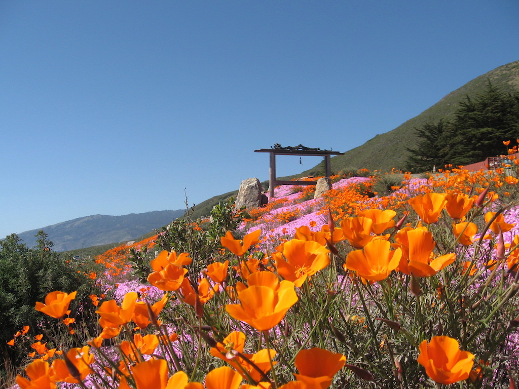 California poppies north of Sand Dollar Beach