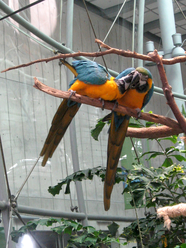Blue and gold macaws at the CalAcademy