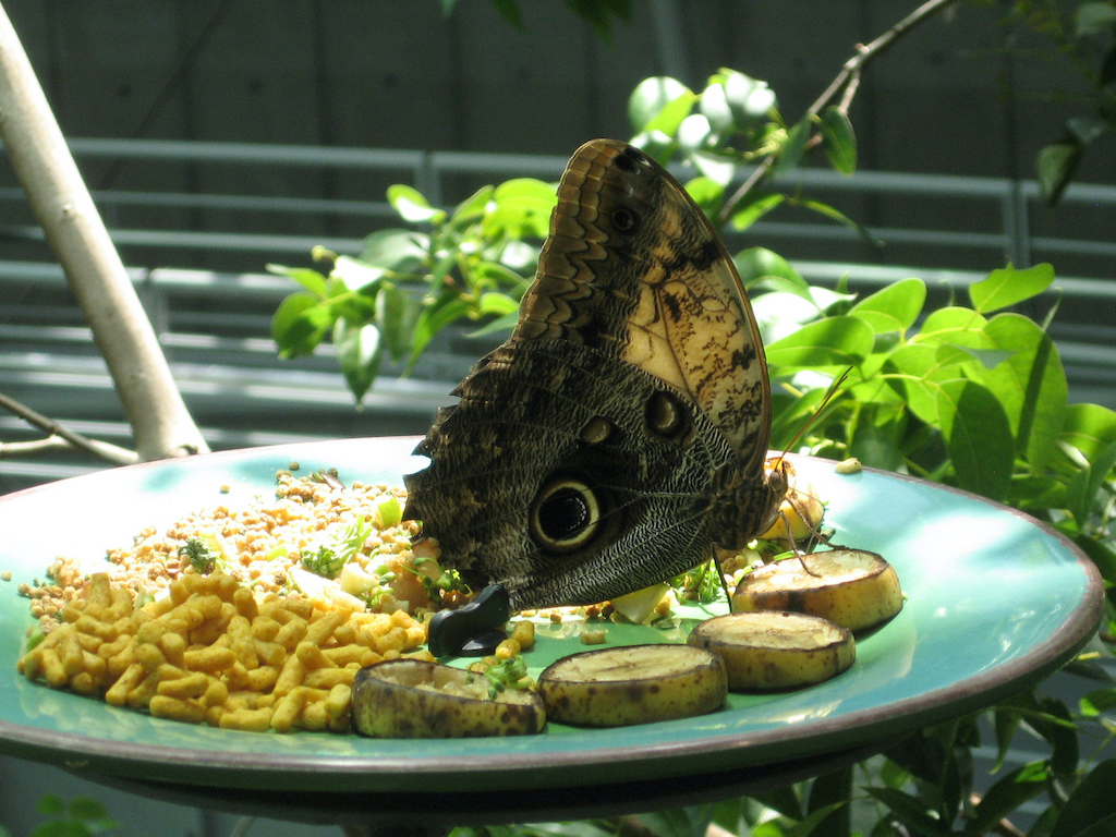 Buckeye butterfly at the CalAcademy