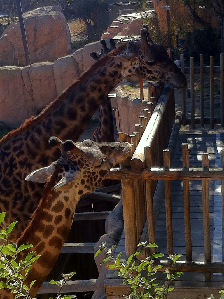Giraffes at the Santa Barbara Zoo