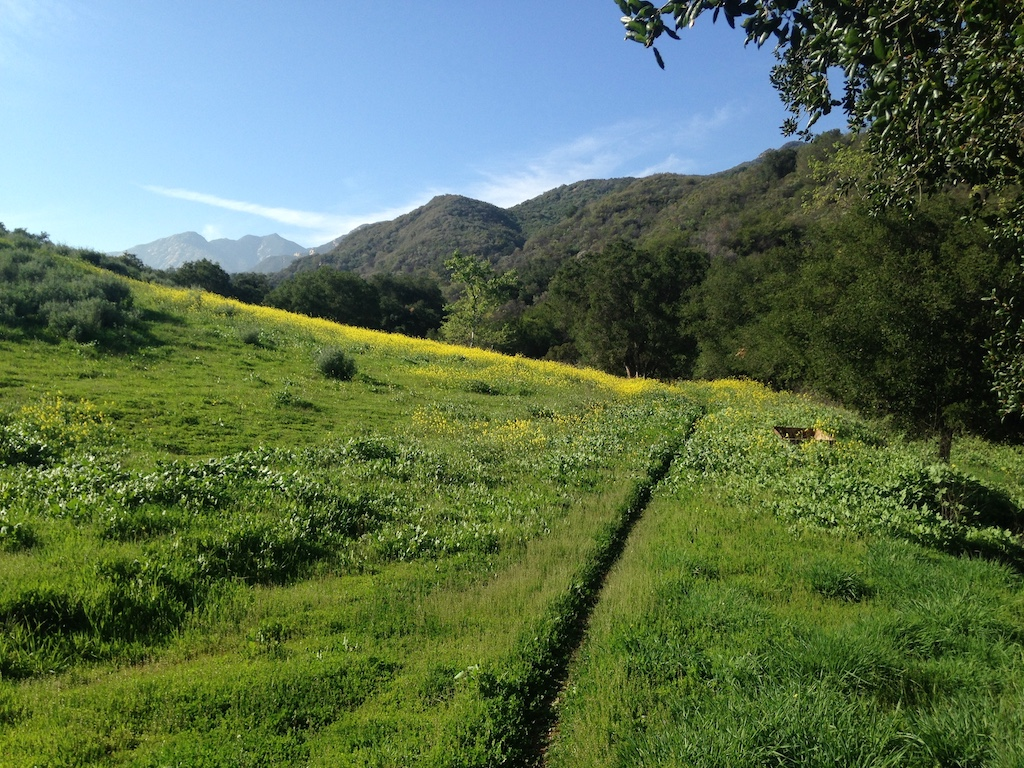 Wild mustard atop Wills Canyon Trail