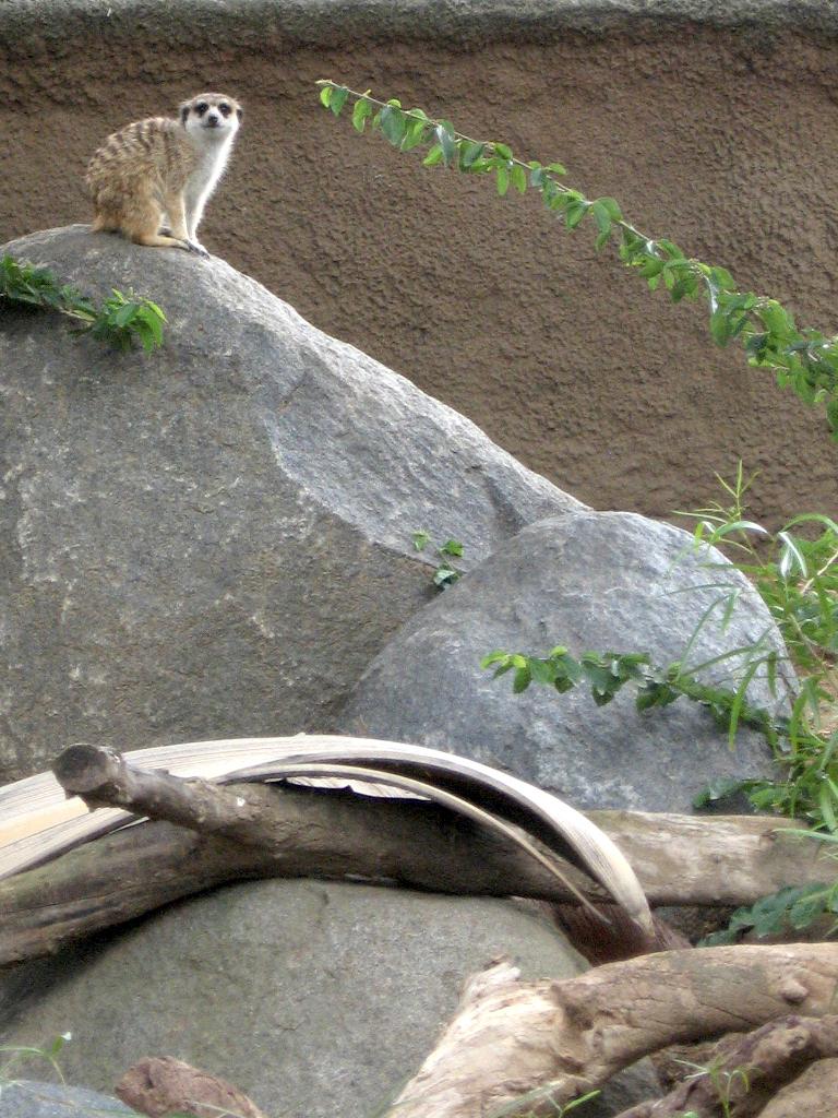 Meerkat at San Diego Zoo