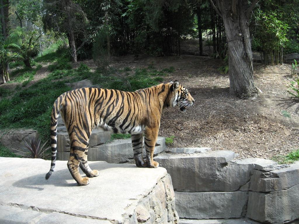 Tiger at San Diego Zoo Safari Park