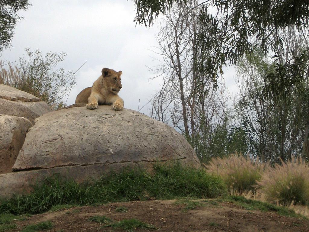 Young lion at San Diego Zoo Safari Park