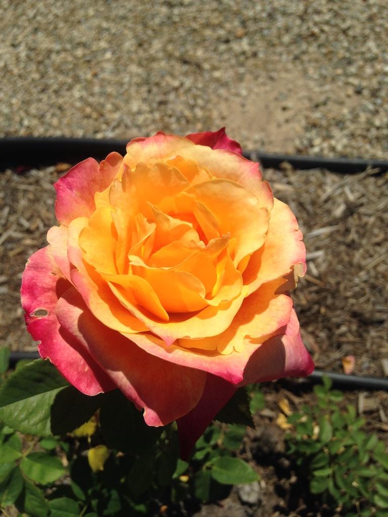 Big Stick garden rose at Krotona