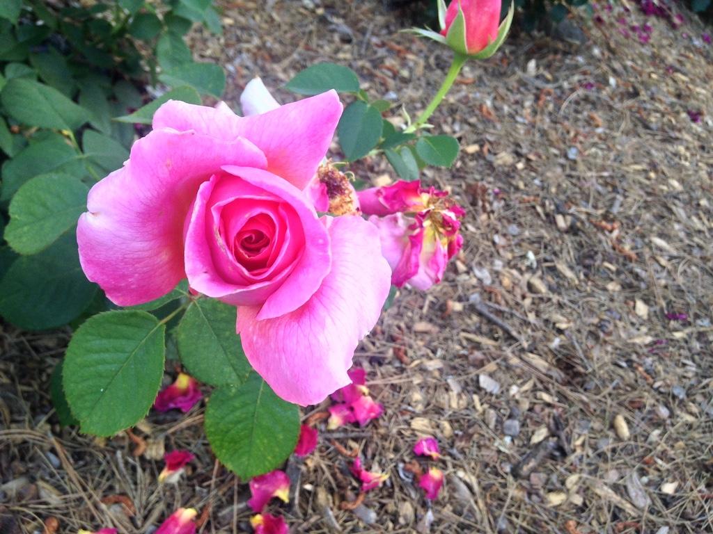 Pink garden rose at Krotona
