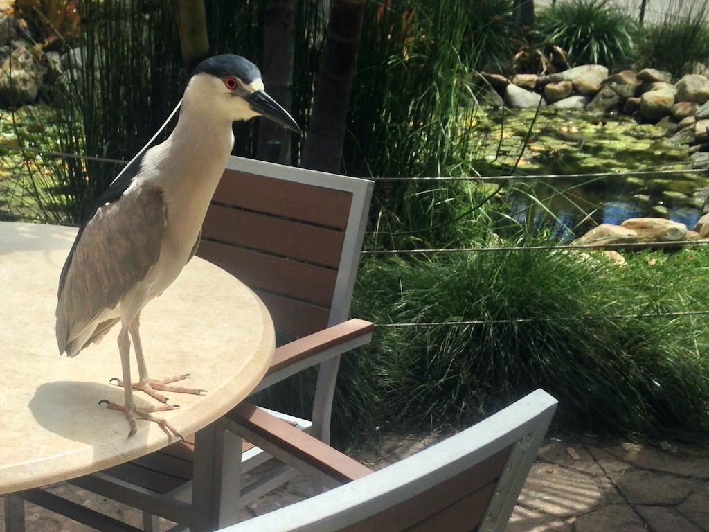 Wild night-heron at the Santa Barbara Zoo