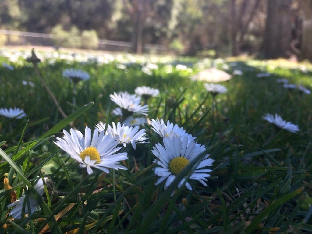 Dandelions at Soule Parke