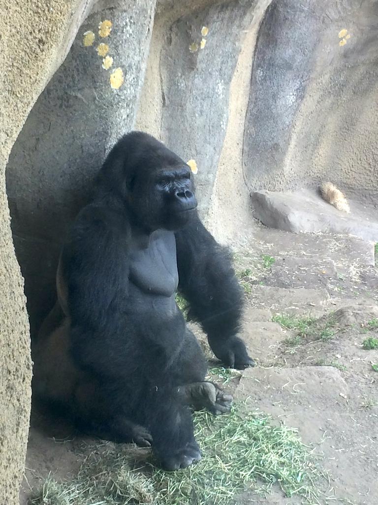Gorilla at the Santa Barbara Zoo