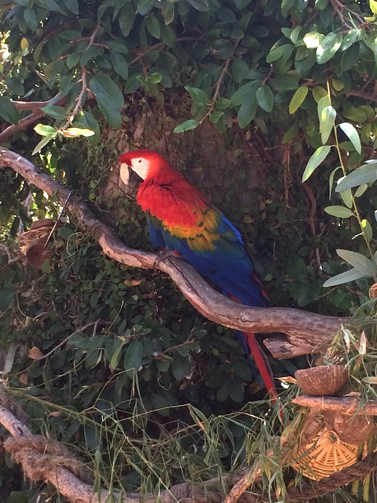 Scarlet macaw at the Santa Barbara Zoo