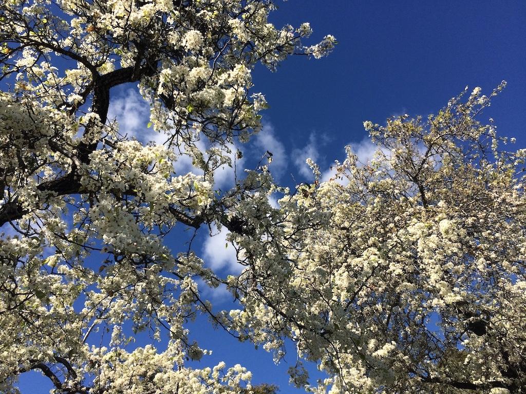 Cherry blossoms at the Santa Barbara Zoo