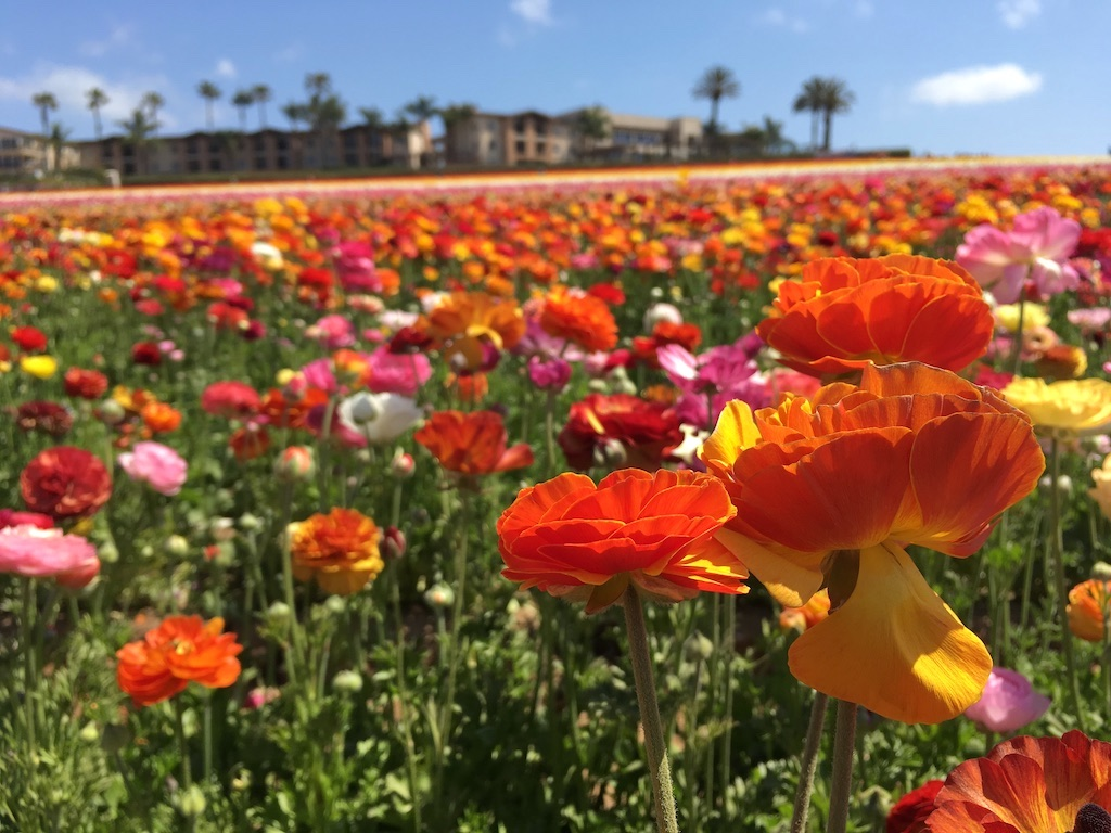 Buttercups at the Carlsbad Flower Fields