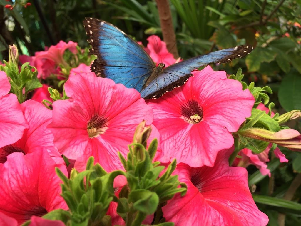 Morpho butterfly at San Diego Safari Park