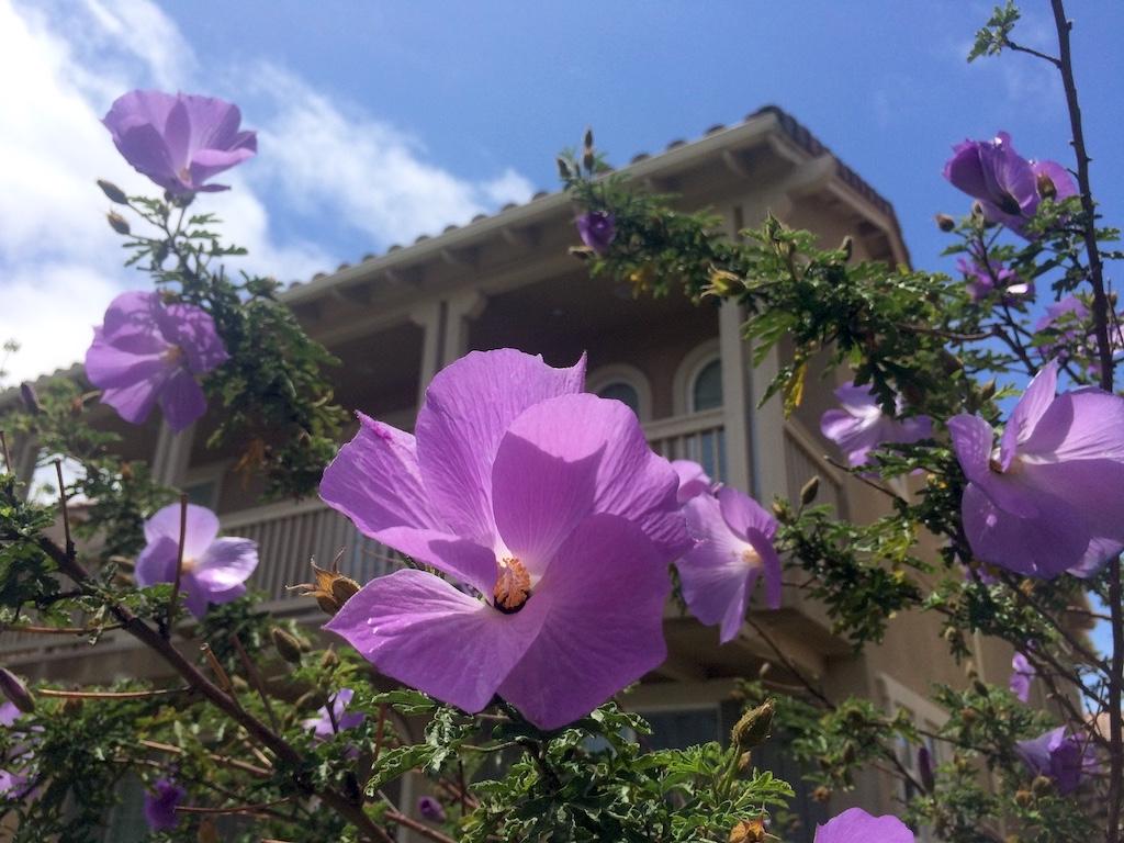 Lilac hibiscus at Seabridge Marina