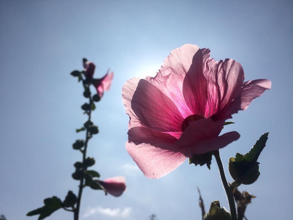 Pink hollyhock on Arnaz