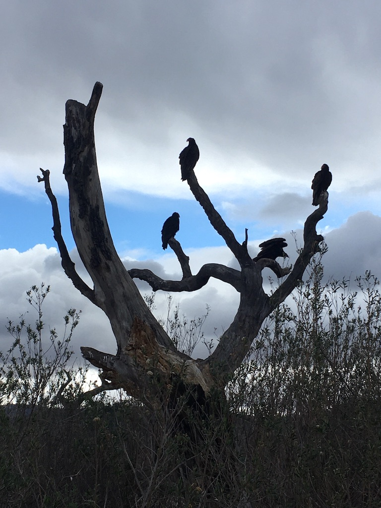 Turkey vultures at Lake Casitas