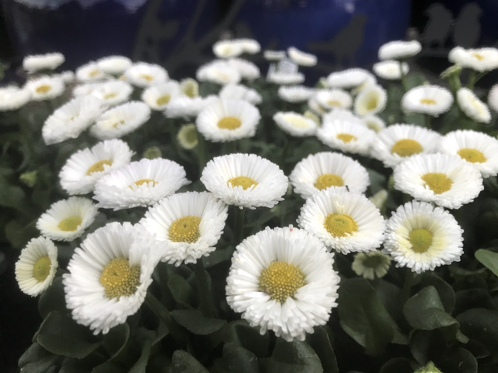 White Daisies at Wachter