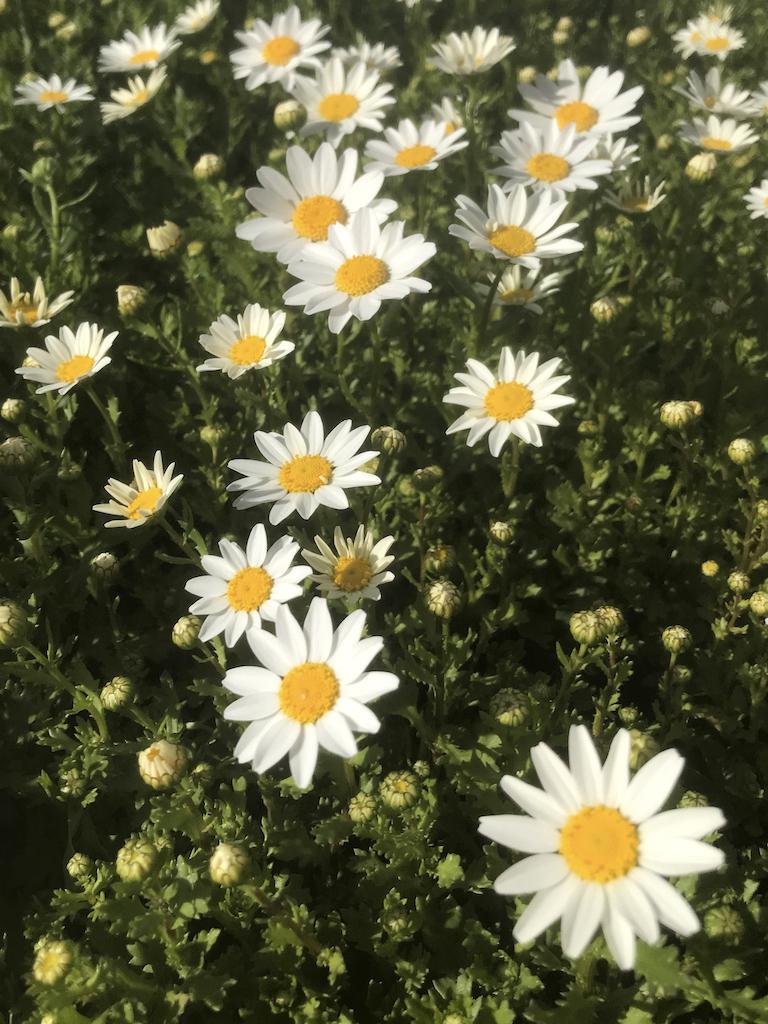 White Daisies in Oxnard