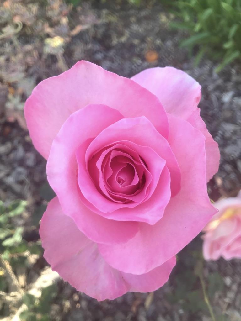 Pink rose near Sarzotti Park