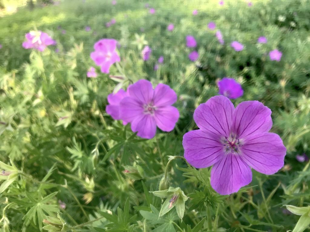 Geraniums near Sarzotti Park