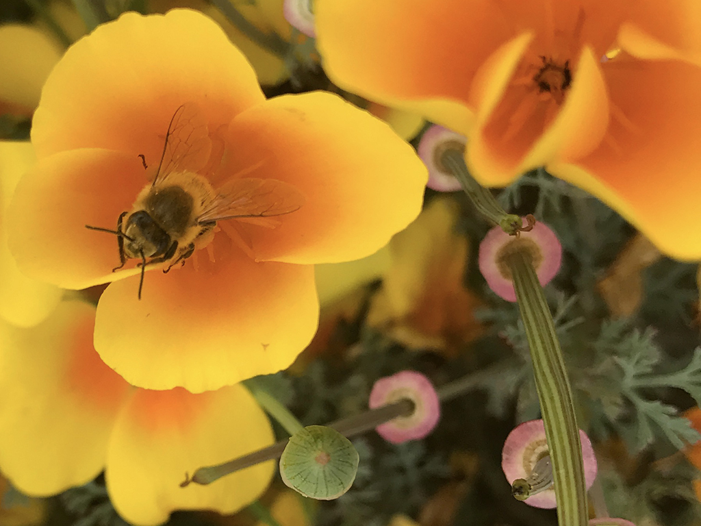 Bee on California Poppy at Ventura Harbor